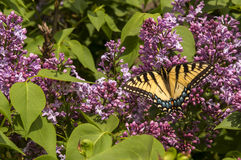 Yellow Monarch on Lilacs Stock Photos