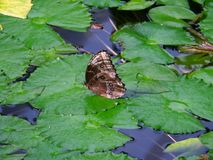 Butterfly on lily pad. Butterfly resting on lily pads floating on water Royalty Free Stock Photo