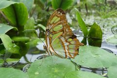 Butterfly on lilypad Stock Image