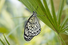 Butterfly on limb Royalty Free Stock Photo