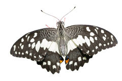 Butterfly (The Lime Butterfly) Royalty Free Stock Image