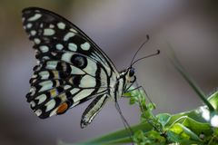 Butterfly, Lime Butterfly - Catopsilia pyranthe royalty free stock images