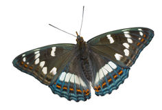 Butterfly (Limenitis populi ussuriensis) 4 Royalty Free Stock Photography