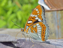 Butterfly (Limenitis populi ussuriensis) 9 Stock Photos