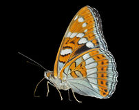 Butterfly (Limenitis populi ussuriensis) 7 Stock Photo