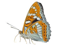 Butterfly (Limenitis populi ussuriensis)  Stock Image