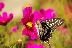 The butterfly lingers over the flower. The series pics were taken in Mudanjiang renmin park , i was photographing the full-blown coreopsis when a beautiful black Stock Images