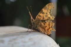 Butterfly. Little tired butterfly resting serenely in the warm, windless sunshine Royalty Free Stock Images
