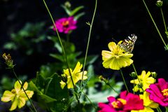 Butterfly perch on the yellow flower in the garden. royalty free stock photos