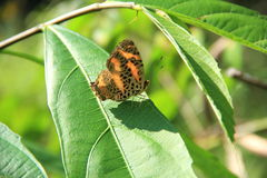 Butterfly On A Lives. royalty free stock images
