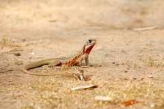 Butterfly Lizard And Newborn Stock Photos