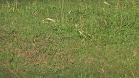 Butterfly lizard on the ground. stock video footage