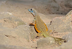 Butterfly lizard on ground Royalty Free Stock Photos