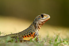 Butterfly lizard. Royalty Free Stock Photo