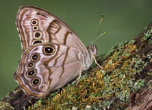 Butterfly on a log Stock Photography