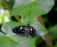 Butterfly. Longwing butterfly with black and white wings Stock Images
