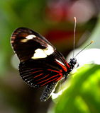 Butterfly. Longwing butterfly with red streaks  and white spots Stock Images