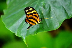 Butterfly. Longwing butterfly with tiger stripes atop a green leaf, of the nymphalidae species Royalty Free Stock Images