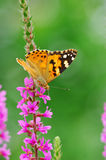Butterfly on loosestrife. A butterfly on loosestrife flower in green background Stock Photo