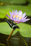 Butterfly on lotus flower Stock Photos