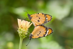 Butterfly love Stock Photography