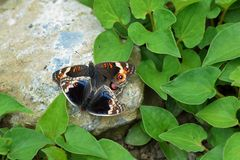 Butterfly love Stock Image