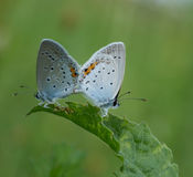 Butterfly in love Royalty Free Stock Image