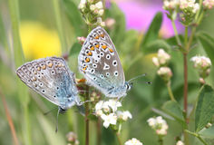 Butterfly Lovers. Two butterflies mating among colorful flowers stock image