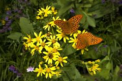 Butterfly lovers in a forest meadow with wild flowers