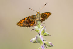 Butterfly low front view. Lesser marbeld fritillary resting on a plant royalty free stock photography