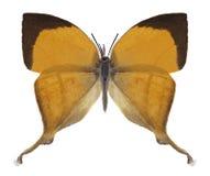 Butterfly Loxura atymnus stock photos