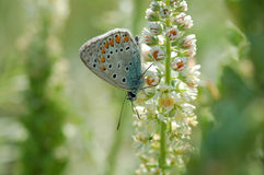 Butterfly Lycaena Royalty Free Stock Images