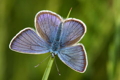 Butterfly (Lycaena argus) Royalty Free Stock Image