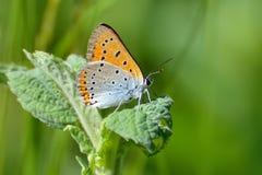 Butterfly (lycaena dispar) Stock Photo