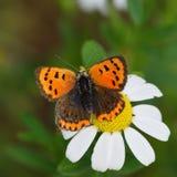 Butterfly lycaena dispar in natural habitat , sitting on. White flower stock photos