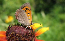 Butterfly Lycaena (Heodes) virgaureae on flower ru Stock Photos