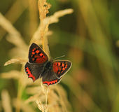 Butterfly (Lycaena phlaeas) Royalty Free Stock Photography