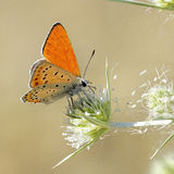 Butterfly. (Lycaena Thersamon) sitting on a flower Stock Photo