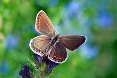 Butterfly (lycaenidae). On wild flower Stock Photos