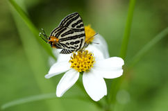 Butterfly, Lycaenidae Stock Photos