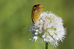 Butterfly of Lycaenidae brown color close-up Stock Image