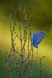 Butterfly Lycaenidae sitting on a plant Stock Photography