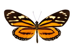 Butterfly (Lycorea ceres) Royalty Free Stock Images