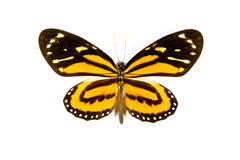Butterfly Lycorea iclione isolated Royalty Free Stock Photo