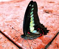 Swllowtail Butterfly in Macau Stock Photos