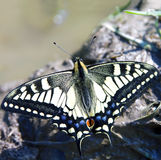 Butterfly  machaon Royalty Free Stock Photos