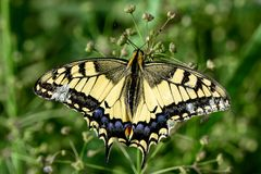 Butterfly machaon on a close-up flower stock photos