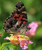 Butterfly Macro. A moments reflection on a spring day Royalty Free Stock Photos