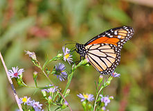 Butterfly macro. Beautiful butterfly on flower close up Royalty Free Stock Photo