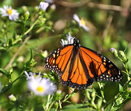 Butterfly macro. Beautiful butterfly on flower close up Royalty Free Stock Photos